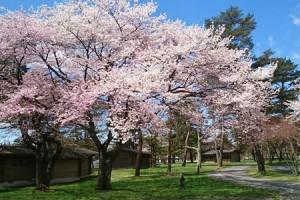 cherry-blossoms-karuizawa-prince-hotel-east