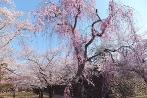 Cherry-Blossom-Festival-at-Ruins-of-Komoro-Castle-3